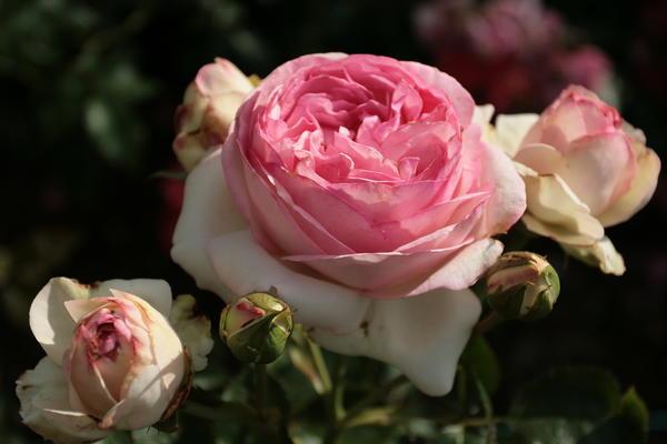 {amp}amp;amp;amp;amp;amp;amp;amp;amp;amp;amp;amp;amp;amp;#39;Pierre de Ronsard{amp}amp;amp;amp;amp;amp;amp;amp;amp;amp;amp;amp;amp;amp;#39; (Meilland, 1985) - одна из любимых роз цветоводов всего мира