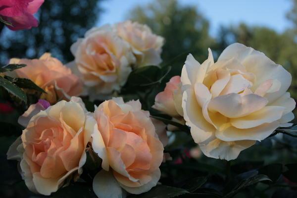 У розы 'Hansestadt Rostrock' (Rosen Tantau, 2010) хорошая репутация и много наград