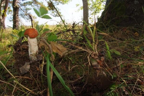 Подосиновик, выкопанный вместе с осинкой
