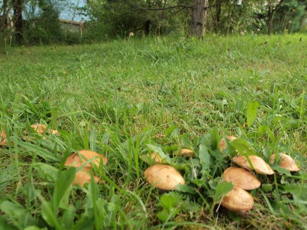 А знаете ли вы, что грибы можно пересадить на участок вместе с деревом?