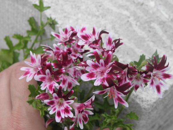 Многочисленные мелкие двухцветные цветки - отличительная черта этой группы пеларгоний