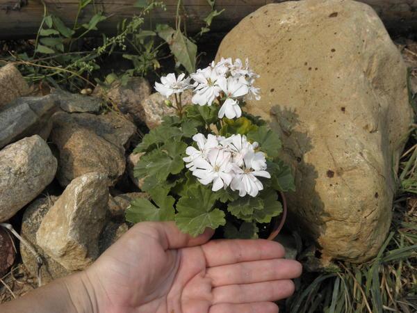 Миниатюрная зональная пеларгония 'Cupid', на фото видно, насколько она мала. Фото автора