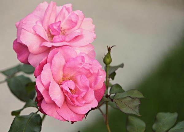 Многие убеждены: когда видна серединка цветка - это недостаток сорта