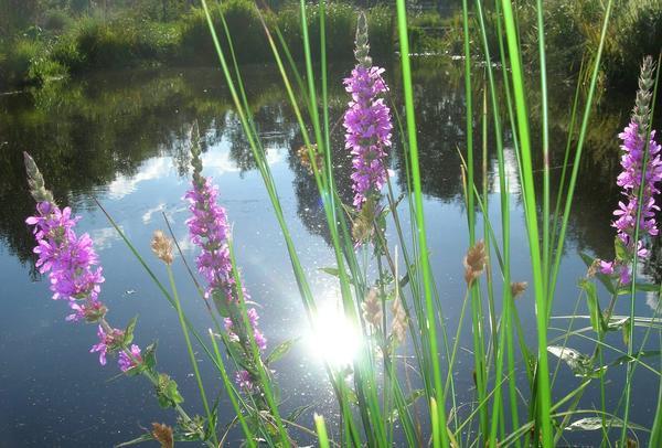 Для низинных, болотистых участков водоем - не дань моде и не прихоть. Дербенник иволистный у пруда