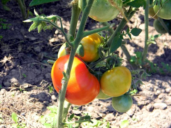 Для выращивания в открытом грунте нужны ранние сорта, устойчивые к неблагоприятным условиям