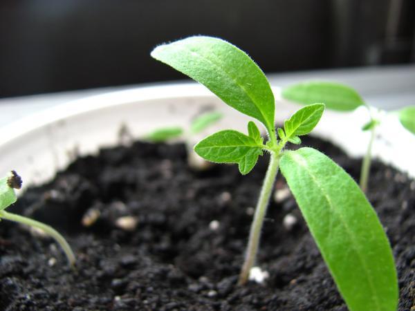 Сеять овощи на рассаду как обычно или пораньше?