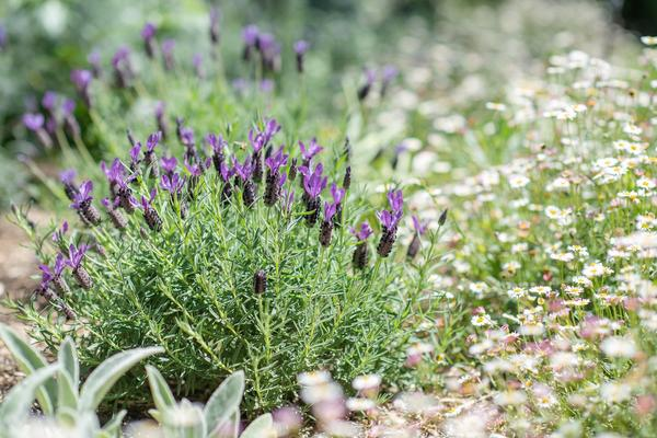 Как сделать садик из пряных и лекарственных трав?