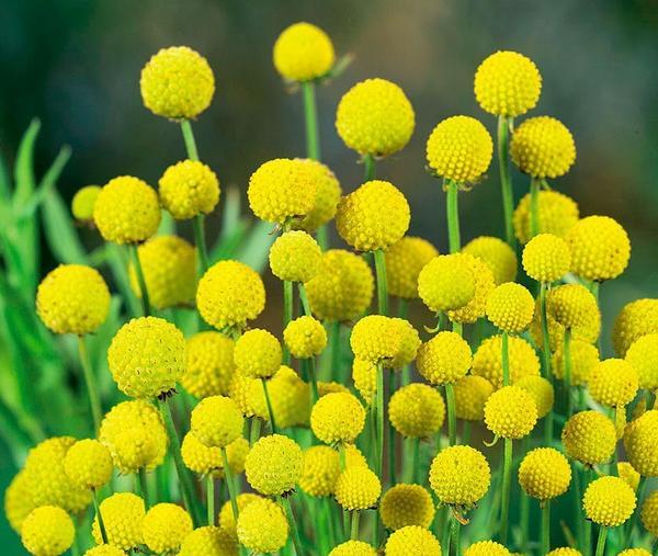 Цефалофора, или земляничная трава от