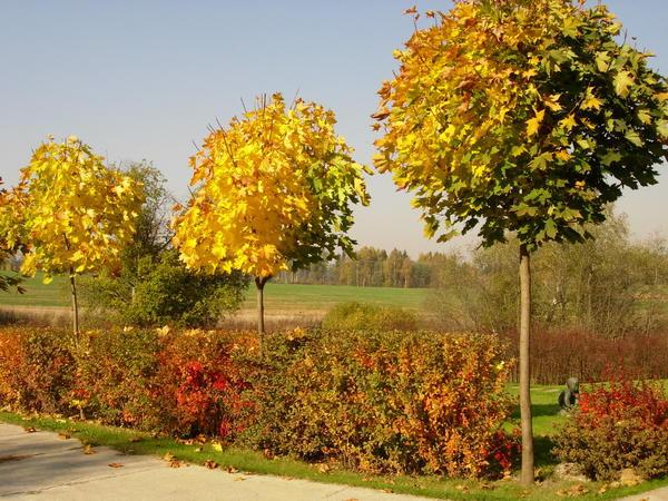 При использовании деревьев в дизайне часто необходимо формировать растения нужного габитуса и удерживать заданные параметры обрезкой