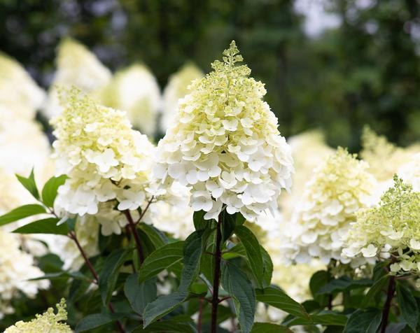 Гортензии не оставляют равнодушными садоводов во всем мире. Гортензия метельчатая 'Строберри Блоссом'