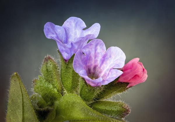 Некоторые лесные первоцветы давно стали желанными гостями наших садов