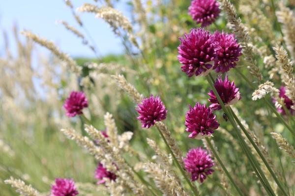 Лук (Allium) растет не только на грядке