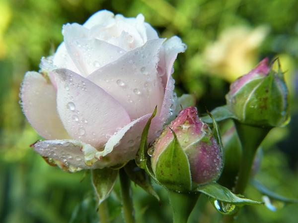 Правильные подкормки необходимы для хорошего цветения роз