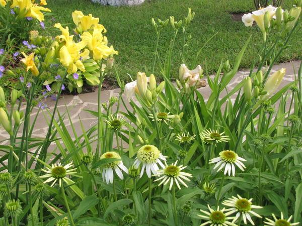 Эхинацея - одно из самых популярных растений у современных ландшафтных дизайнеров