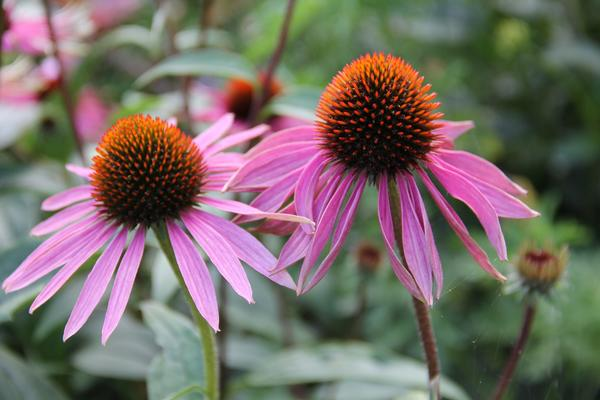 Эхинацея - многолетнее травянистое декоративное и лекарственное растение