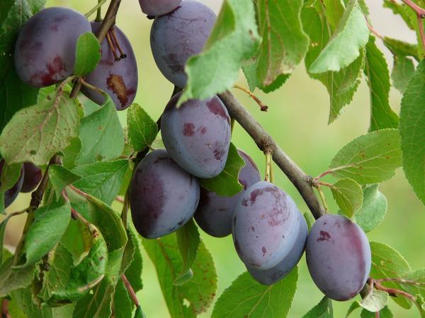 Слива - популярная плодовая культура, обладающая множеством полезных свойств
