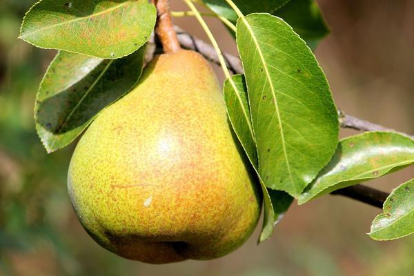 Груша - полезный фрукт, но при неправильном употреблении может навредить