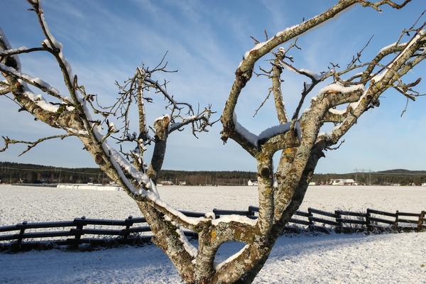 Не все яблони хорошо переносят зиму