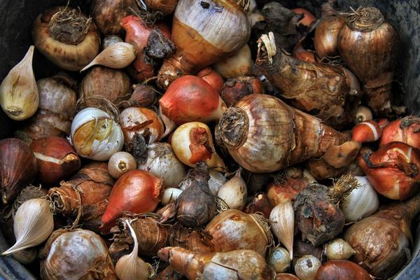 Важно правильно выбрать время покупки луковичных
