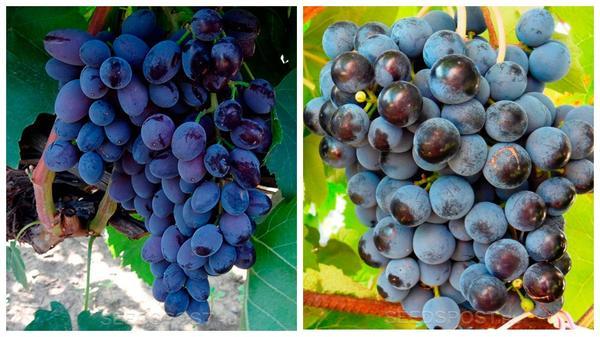 Виноград 'Юпитер' (слева) и 'Экспресс' (справа), фото с сайта seedspost.ru