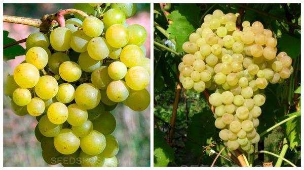 Виноград 'Мускат десертный' (слева) и 'Кишмиш' (справа), фото с сайта seedspost.ru