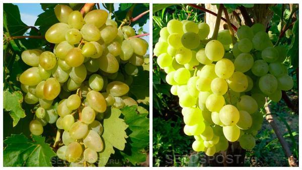 Виноград 'Аркадия' (слева) и 'Тукай' (справа), фото с сайта seedspost.ru