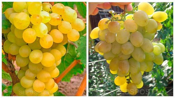 Виноград 'Триумф' (слева) и 'Восторг' (справа), фото с сайта seedspost.ru