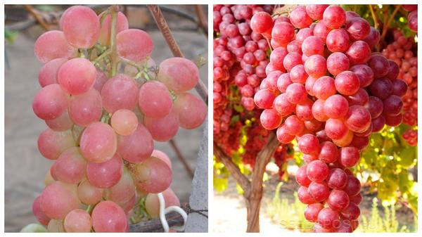 Виноград 'Фламинго' (слева) и 'Новый русский' (справа), фото с сайта seedspost.ru