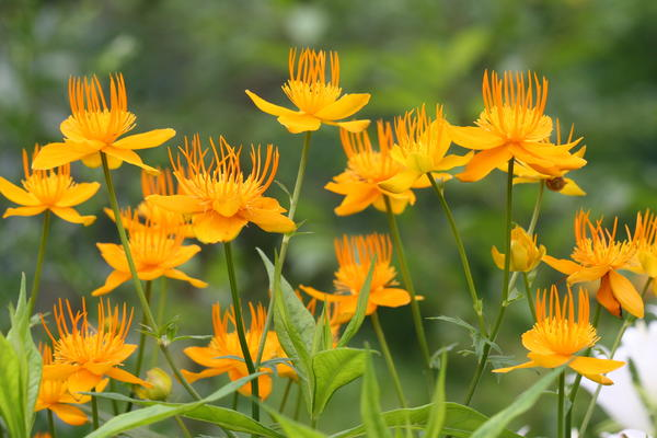 Различные виды рода купальница - замечательные декоративные растения