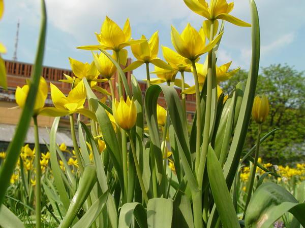 Тюльпаны - очень популярные во всем мире весенние луковичные цветы