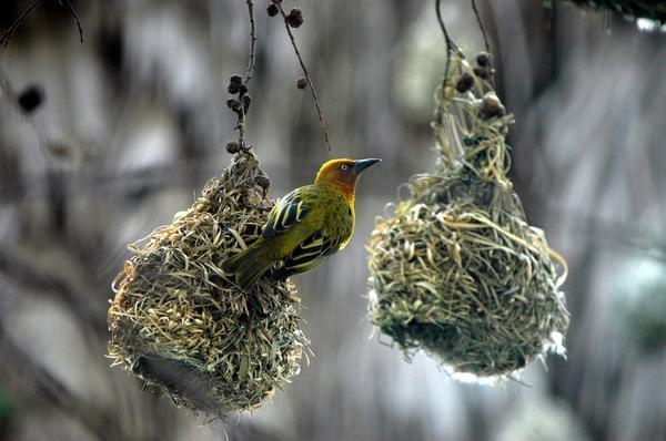 Птичьи гнезда бывают самыми разными