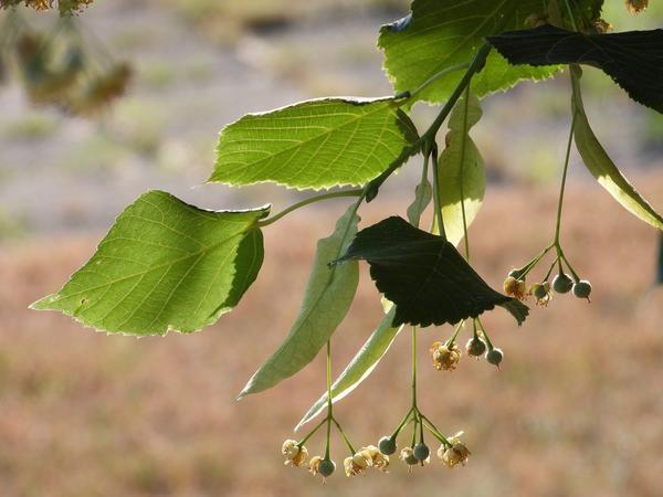 Полезные свойства липы используются в народной медицине с глубокой древности
