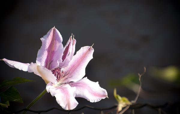 Почему клематис цветет не так пышно, как хотелось бы, и что с этим делать?