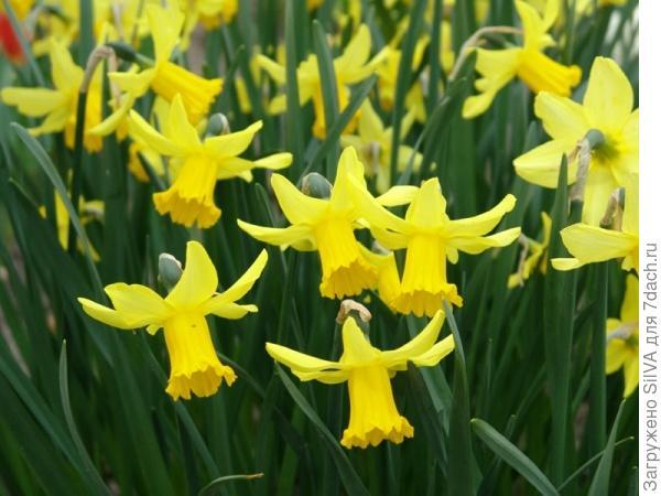 Нарцисс цикламеновидный February Gold