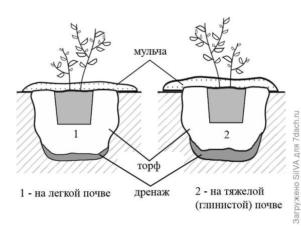 посадка голубики в различные почвы