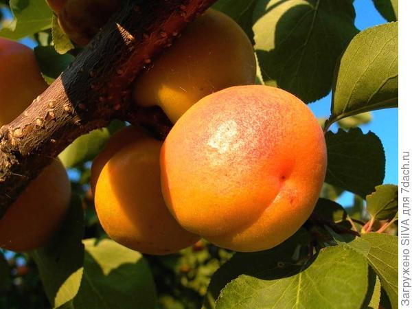 сорт абрикоса сын краснощекого