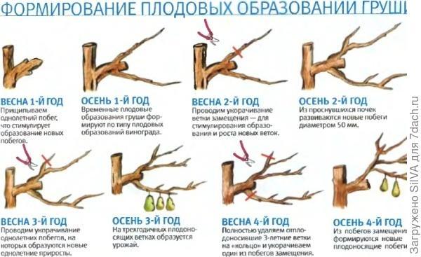 Обрезка груши. Фото с сайта agronomu.com