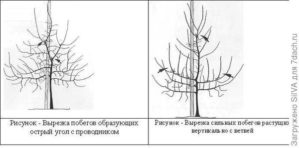 Формирование кроны груши. Фото с сайта http://obrezka-sada.ru