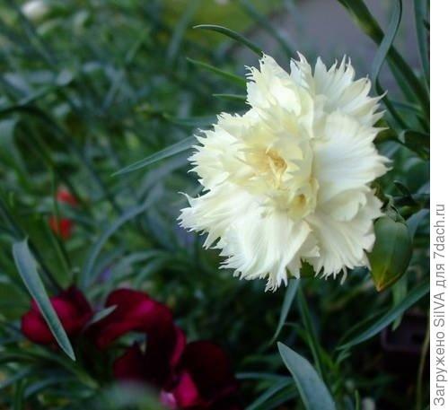 гибрид Шабо с белыми цветками