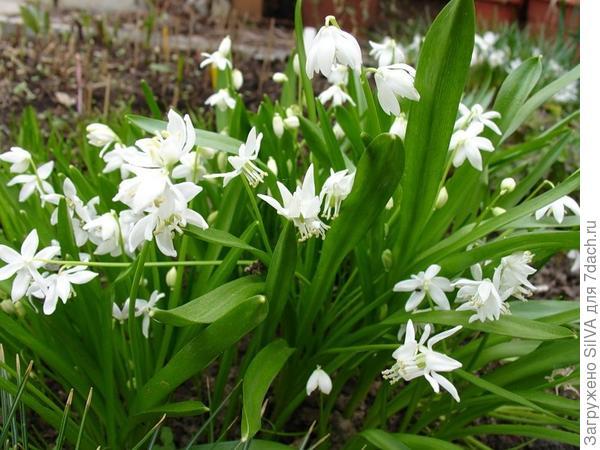 Сцилла: выращивание и уход