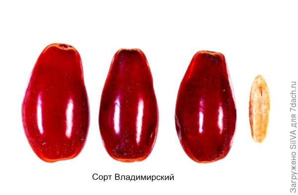 сорт кизила владимирский