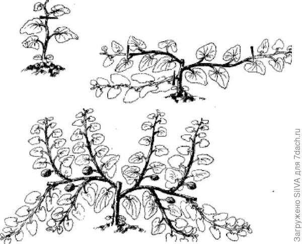 пример прищипывания арбуза