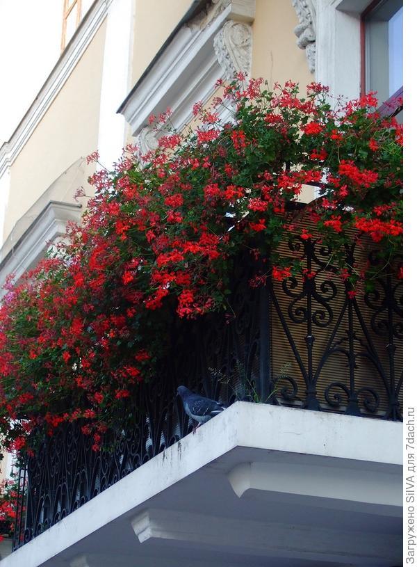 пеларгония как украшение балкона