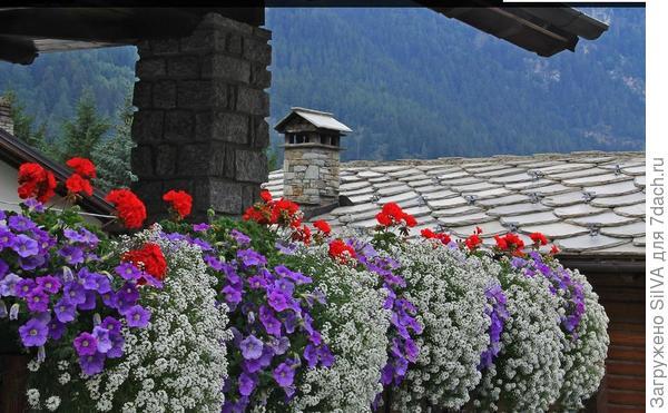 пеларгония в композиции с другими растениями для балконов