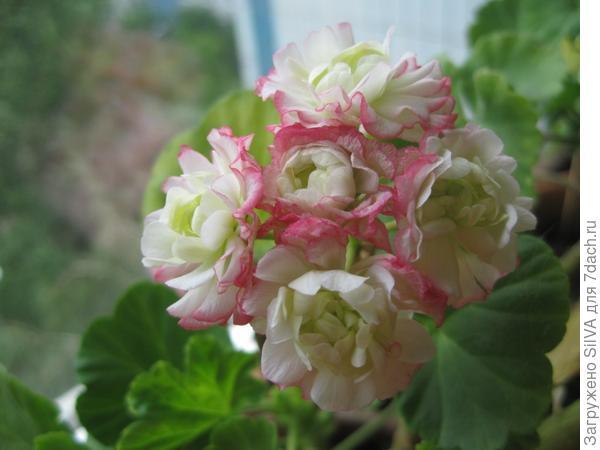 сорт Appleblossom Rosebud