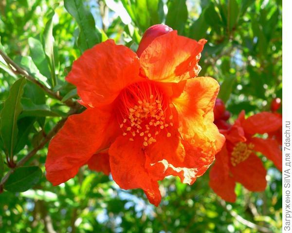 цветок граната(Punica)