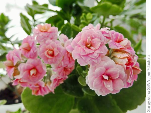 розовое каланхоэ