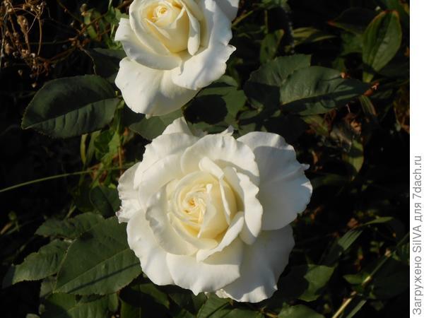 молодые розы
