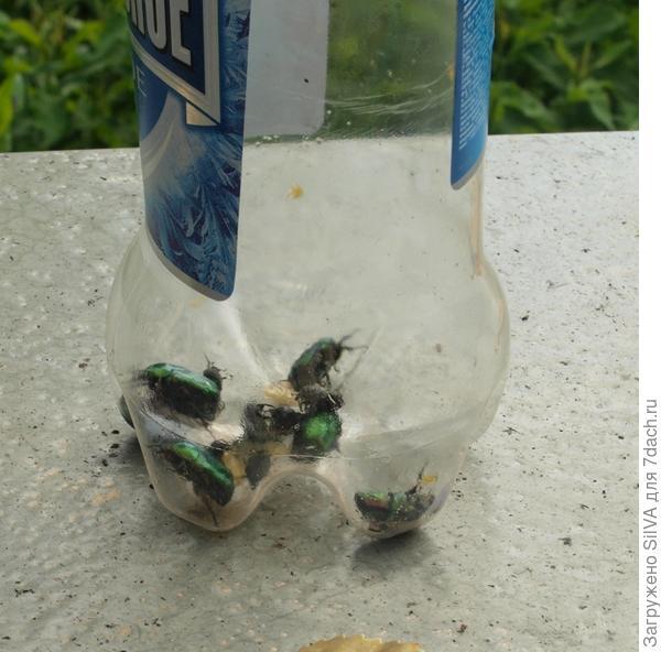 жуки пожиратели цветов