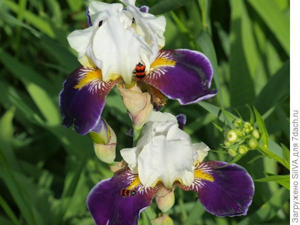 цветы ириски